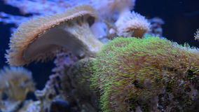 Sea anemone coral in aquarium stock video footage