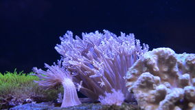 Sea anemone stock footage