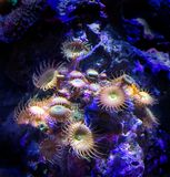 Sea Anemone Coral. Sea anemone glow under ambient lighting as they cling to coral reef royalty free stock photos