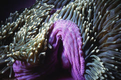 Sea anemone in current. Purple sea anemone waving in current Stock Photos