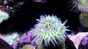 Sea anemone stock video footage