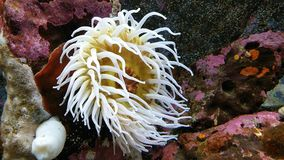 Sea anemone Stock Image