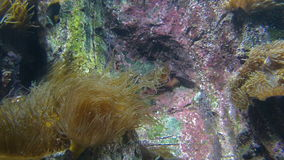 Sea Anemone and Ocean Fish Swimming Underwater. Full HD 1080p Video stock video footage
