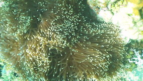 Sea anemone in the ocean. stock video footage