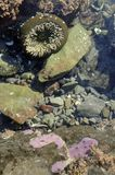Sea Anemone, Olympic Peninsula Stock Photo