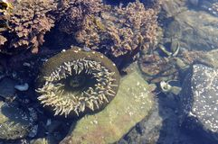 Sea Anemone, Olympic Peninsula Beach Royalty Free Stock Photography
