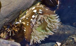 Sea anemone. On the Oregon coast stock images
