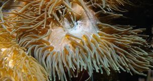 Sea Anemone,. Real Time 4K stock video