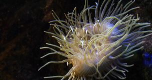 Sea Anemone,. Real Time 4K stock footage
