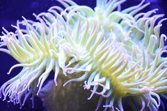 A Sea Anemone. In Water stock photo