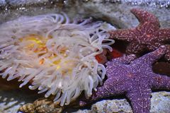 A Sea Anemone. In Water stock image