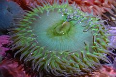 A Sea Anemone. In Water stock photography