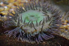 A Sea Anemone. In Water royalty free stock photography