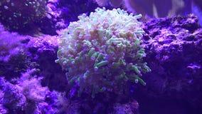 Sea Anemone, Sea Life, Underwater, Nature Royalty Free Stock Image