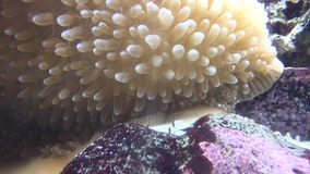 Sea Anemone, Sea Life, Underwater, Nature stock video footage