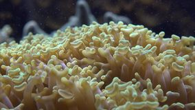 Sea Anemone, Sea Life, Underwater, Nature stock video