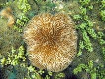 Sea anemone Stichodactyla helianthus Stock Image
