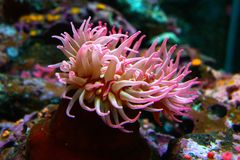 Sea Anemone tentacles royalty free stock image