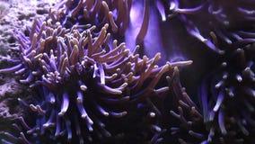 Sea Anemone Underwater  nature stock footage