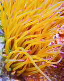 Sea Anemone 1 Royalty Free Stock Photos