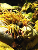 Sea Anemone 3 Stock Photos
