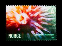 Sea Anemone (Urticina eques), Marine life serie, circa 2005. MOSCOW, RUSSIA - MARCH 18, 2018: A stamp printed in Norway shows Sea Anemone (Urticina eques) Stock Photo