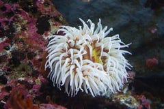 Sea anemone in white stock photo