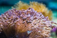 Sea anemones. Are predatory sea animals, they look like a flower Royalty Free Stock Photography