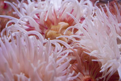Sea anemones. Delicate pink tentacles of sea anemones Royalty Free Stock Image