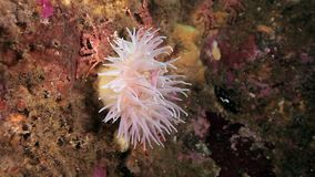 Sea Anemones of Actinia underwater in Arctic ocean. Nature in clean transparent cold water. Wildlife on background of blue marine life stock footage
