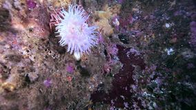Sea Anemones of Actinia underwater in Arctic ocean. Nature in clean transparent cold water. Wildlife on background of blue marine life stock video footage