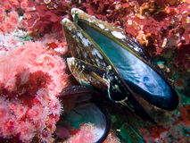 Free Sea Anemones And Mussel Shell Stock Photography - 9752342