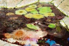 Sea anemones. Sea anemones in coastal waters. Bunodactis reynaudi Royalty Free Stock Images