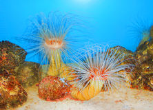 SEA ANEMONES. Are a group of water-dwelling, predatory animals of the order Actiniaria. They are named for the anemone, a terrestrial flower Stock Images
