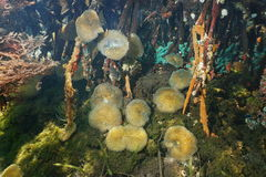 Sea anemones in the mangrove roots underwater Royalty Free Stock Photo