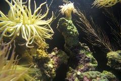 Sea Anemones at Monterey Aquarium, Monterey, CA stock photos
