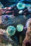 Sea anemones. Sea anemones in the ocean. Bunodactis reynaudi Stock Photos