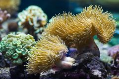 Sea anemones, predatory animals Royalty Free Stock Photo