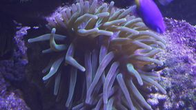 Sea anemones in saltwater aquarium stock footage video stock video