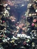 Sea anemones Royalty Free Stock Photos