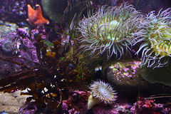 Sea anemones. On solid ground in the aquarium Royalty Free Stock Photo