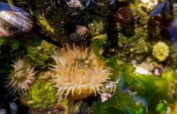 Sea anemones in tidal pool royalty free stock images