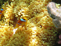 Sea anemones and two-banded clownfish Royalty Free Stock Image