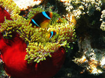 Sea anemones and two-banded clownfishes Stock Image