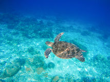 Sea animal and plants. Oceanic environment underwater photo. Sea bottom with sand and coral reef formation. Undersea scenery with sea tortoise. Green turtle in stock image