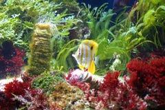 Sea Aquarium. With beaked coralfish Stock Image