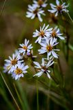 Sea aster Stock Images