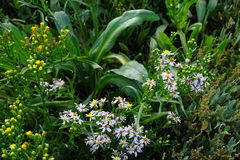 Sea Aster. Leaves and flowers mixed with Sea Purlane Royalty Free Stock Photo