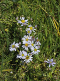 Sea Aster Royalty Free Stock Photos