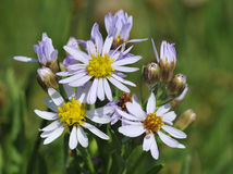 Sea Aster. Aster tripolium Royalty Free Stock Images